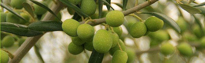 aceitunas olivo propiedades aceite de oliva virgen extra